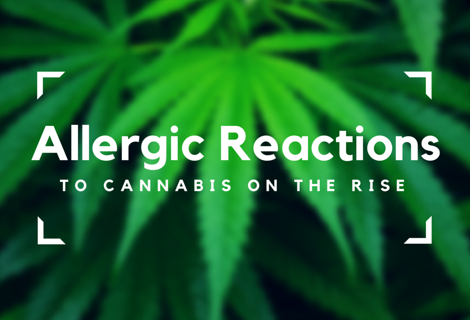 The Rise of Marijuana Allergies